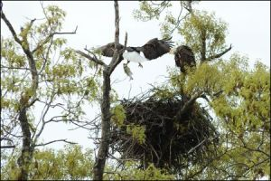 eagle arkansas outdoor adventure